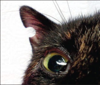 Figure 6 - Feline ear notching