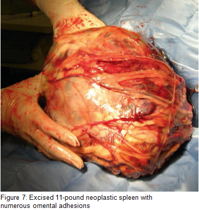 Figure 7 - Excised neoplastic spleen